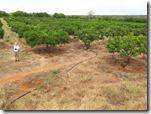 Plantage mangoträd / Plantation mangues